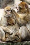 Ape family Royalty Free Stock Image