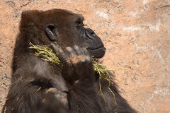 Ape With Food. An Ape in contemplation with food in its hand stock images