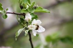Ape Frutteti sboccianti con le api in primavera Alberi di fioritura del frutteto Priorità bassa della sorgente Frutteto della pri Immagine Stock Libera da Diritti