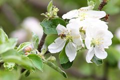 Ape Frutteti sboccianti con le api in primavera Alberi di fioritura del frutteto Priorità bassa della sorgente Frutteto della pri Immagini Stock Libere da Diritti