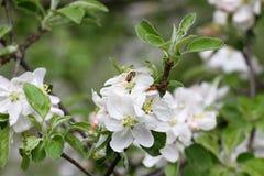 Ape Frutteti sboccianti con le api in primavera Alberi di fioritura del frutteto Priorità bassa della sorgente Frutteto della pri Fotografia Stock Libera da Diritti