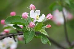 Ape Frutteti sboccianti con le api in primavera Alberi di fioritura del frutteto Priorità bassa della sorgente Frutteto della pri Fotografia Stock