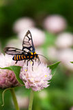 Ape gialla nera che raccoglie il nettare del miele dal fiore rotondo rosa Immagini Stock