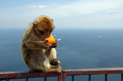 Ape of Gibraltar. Ape eating orange (Gibraltar apes - the only wild living apes in Europe royalty free stock images