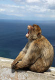 Ape of Gibraltar Royalty Free Stock Image