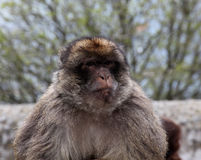 Ape of Gibraltar. An Ape of Gibraltar  The Barbary Macaque are a famous attraction in Gibraltar Royalty Free Stock Photo