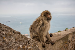 Ape of Gibraltar. Gibraltar monkey sitting on a wall Royalty Free Stock Photography