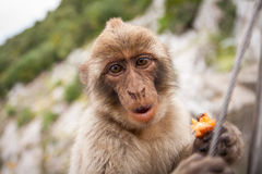 Ape of Gibraltar. Gibraltar monkey eating a fruit Royalty Free Stock Images