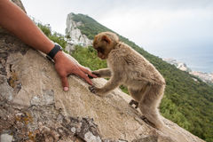 Ape of Gibraltar. Gibraltar monkey shaking hand with tourist stock photos