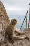Ape of Gibraltar Stock Photos