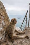 Ape of Gibraltar. Gibraltar monkey sitting on the stairs Stock Photos