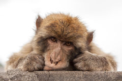 Ape of Gibraltar. Gibraltar monkey lie on a wall Royalty Free Stock Photography