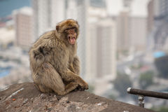 Ape of Gibraltar. Monkey with city of Gibraltar in the background Stock Images