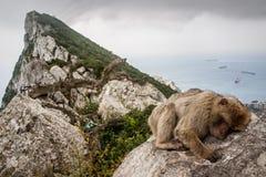 Ape of Gibraltar. Gibraltar monkey sleeping on the rock Stock Photo
