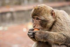 Ape of Gibraltar. Gibraltar monkey eating a carrot Stock Image