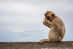 Ape of Gibraltar. Gibraltar monkey sitting on a wall and eating a fruit Royalty Free Stock Images