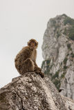 Ape of Gibraltar. Gibraltar monkey sitting on the rock Stock Photography