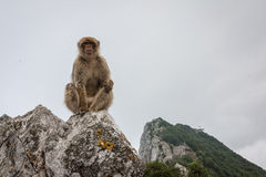 Ape of Gibraltar. Gibraltar monkey sitting on the rock Royalty Free Stock Images