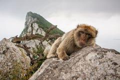 Ape of Gibraltar. Gibraltar monkey at the top of the rock Stock Photos
