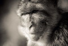 Ape2. Gibraltar Barbary macaques animal wild Royalty Free Stock Photos