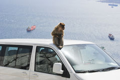 Ape of Gibraltar sitting on roof of white car. An is ape sitting on top of car at  Gibraltar (UK). There are some fright ships and the landmass of spain in the Royalty Free Stock Image