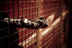Ape hand. The hand of a chimpanzee into a zoo jail with dramatic treatament stock photography