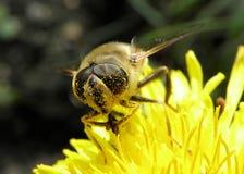 Ape, insetto, impollinazione, macro del fiore, primo piano Fotografia Stock Libera da Diritti