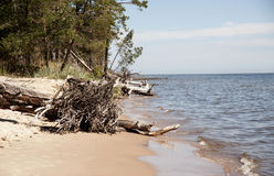 Сape Kolka, Gulf of Riga. The trees lie in water at the coast o Royalty Free Stock Photos