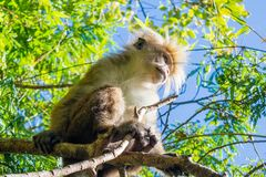 Ape looking somewhere while sitting on the tree. In Sri Lanka Royalty Free Stock Photo