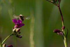 Ape - maggiore di bombylius su fondo verde Impollini il fiore L'ape con le proboscide lunghe vola sul fiore immagine stock libera da diritti