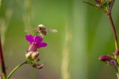 Ape - maggiore di bombylius su fondo verde Impollini il fiore L'ape con le proboscide lunghe vola sul fiore fotografie stock libere da diritti