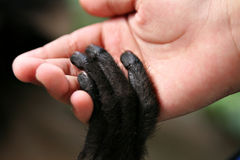 Ape and man. Holding hands royalty free stock photo