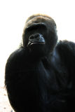 The Ape Man. Medium shot of a maie Gorilla possing Royalty Free Stock Photography
