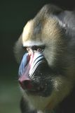 Ape Mandrill Male Royalty Free Stock Photography