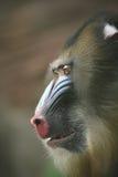Ape Mandrill Male, Monkey Royalty Free Stock Photos