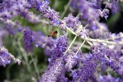 Ape mellifica che raccoglie nettare come ape che lavora ad un fiore della lavanda fotografie stock libere da diritti