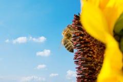 Ape mellifica che raccoglie nettare da un bello girasole giallo Ecologia, ambiente e concetto di giardinaggio fotografia stock libera da diritti