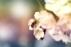 Ape mellifica che raccoglie polline ad un fiore rosa del fiore ape su un wh Fotografia Stock Libera da Diritti