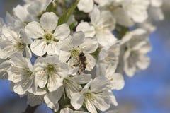 Ape mellifica che raccoglie polline ad un fiore rosa del fiore ape su un wh Fotografie Stock Libere da Diritti