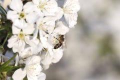 Ape mellifica che raccoglie polline ad un fiore rosa del fiore ape su un wh Fotografia Stock