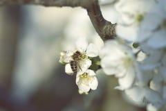 Ape mellifica che raccoglie polline ad un fiore rosa del fiore ape su un wh Immagine Stock