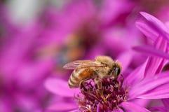 Ape mellifica che raccoglie polline da un fiore dell'aster fotografie stock libere da diritti