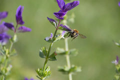 Ape mellifica che raccoglie polline dai fiori porpora Fotografia Stock
