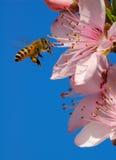 ape mellifica di volo Immagini Stock Libere da Diritti
