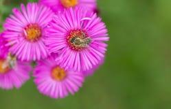 Ape mellifica sul fiore rosa con fondo verde confuso Fotografia Stock