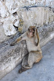 Ape or monkey in Gibraltar. Barbary ape macaque on Gibraltar rock. Monkey sitting on the ground with hand on his head stock image
