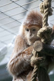 Ape, monkey. Haubenlanguren, small young ape, monkey brown, red Stock Photography