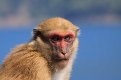 Ape monkey in wilderness looking with eyes contact to camera Royalty Free Stock Photo