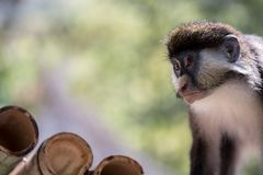 Ape Monkey. Young monkey looking. Ape face royalty free stock photo