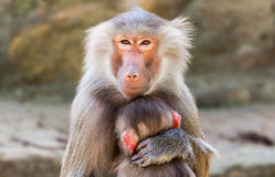 Ape mother with her child royalty free stock photography